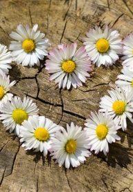 daisy-712892_640-min